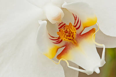 Photograph - White Orchid 2 by Ben Graham