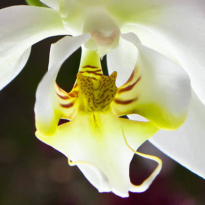 White Orchid Close 2 Art Print by Timothy Blair