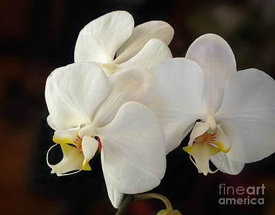 Superhero Ice Pop - White Orchid - Doritaenopsis Orchid by Kaye Menner