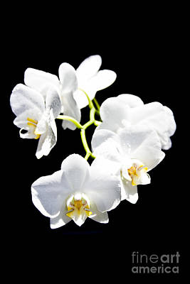 Photograph - White Orchid Doritaenopsis Phalaenopsis Aphrodite Flowers On Black  by Sharon Mau
