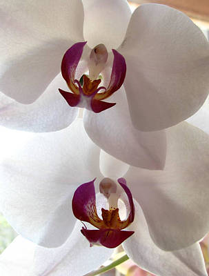 Photograph - White Orchid by Eva Csilla Horvath