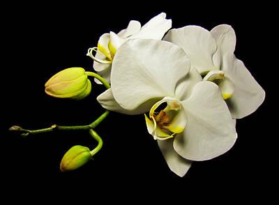 Photograph - White Orchid Iv by Eva Kondzialkiewicz