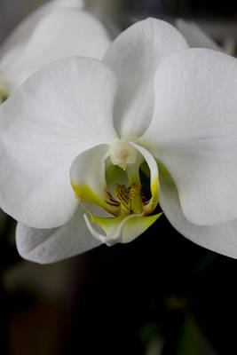 White Orchid Art Print by Ivete Basso Photography