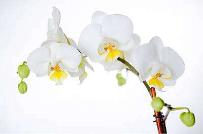 Phalaenopsis Photograph - White Orchid by Kelly Anderson