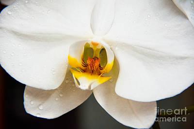 White Orchid Art Print by Lisa L Silva