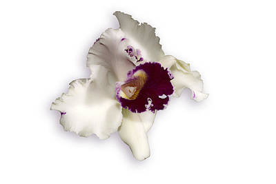 Blc Photograph - White Orchid On White by Lawrence Golla