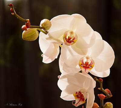 Photograph - White Orchid Sprig by Natalie Rotman Cote