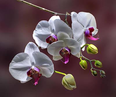 White Orchids Art Print by Bob Mulligan