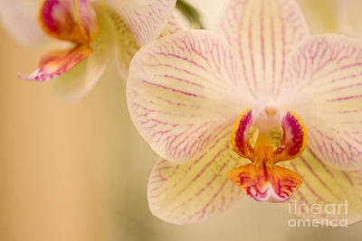 Photograph - White Orchids by Chris Scroggins