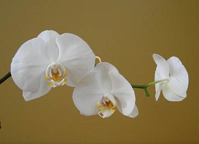 White Orchid's Art Print by Cindy Croal