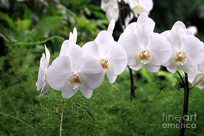 Photograph - White Orchids by George DeLisle