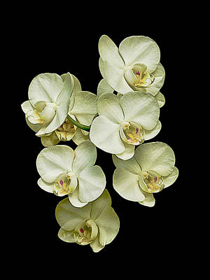 Photograph - White Orchids On Black by Bill Barber