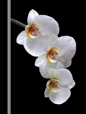 White Orchids Photograph - White Orchids On Black Vertical by Gill Billington
