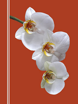 White Orchids Photograph - White Orchids On Terracotta Vdertical by Gill Billington