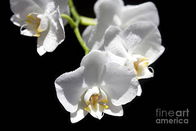 Photograph - White Orchids - Phalaenopsis - Messengers Of Light by Sharon Mau