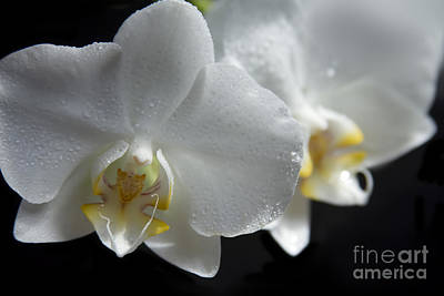 Photograph - White Orchids - Phalaenopsis Orchid Flowers On Black by Sharon Mau