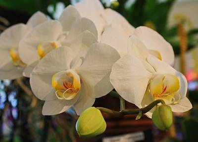 Photograph - White Orchids Reaching by Michael Saunders