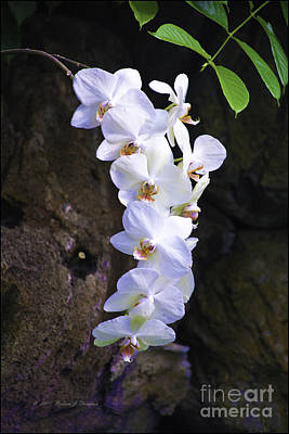 Photograph - White Orchids by Richard J Thompson