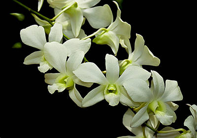 Photograph - White Orchids by Swank Photography