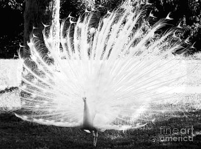 Photograph - White Peacock  by Andrea Anderegg