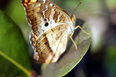 Photograph - White Peacock Butterfly by Greg Allore