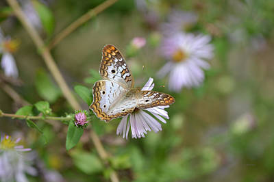 Photograph - White Peacock Butterfly II by rd Erickson