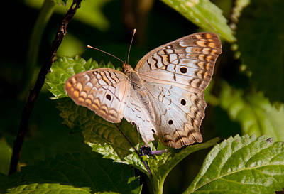 Photograph - White Peacock Butterfly by John Black