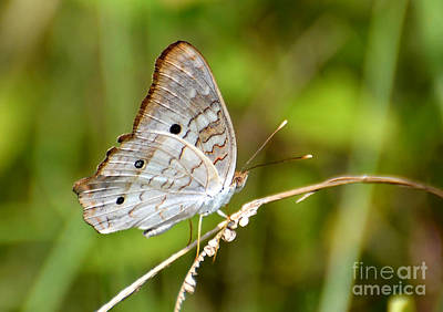 Photograph - White Peacock Butterfly by Kathy Baccari