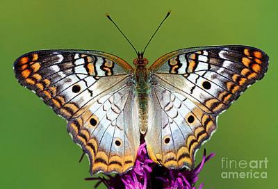 White Peacock Butterfly Art Print by Millard H. Sharp