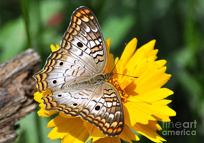 Photograph - White Peacock Butterfly On A Yellow Flower by Kathy Baccari