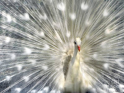Photograph - White Peacock  by Daliana Pacuraru