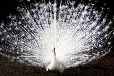 White Peacock Art Print by Daniel Precht