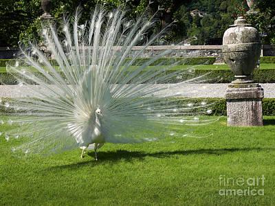 Sara Habecker Folk Print - White peacock display by Brenda Kean