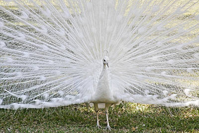 Photograph - White Peacock - Fountain Of Youth by Christine Till