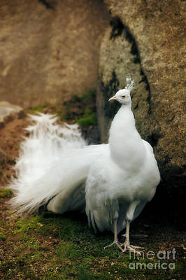 White Peacock Photograph - White Peacock by HD Connelly