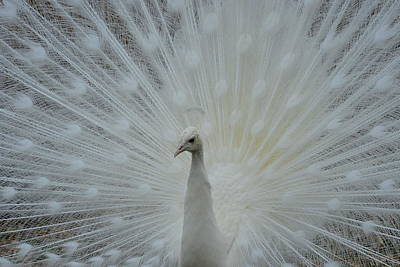 Photograph - White Peacock by T C Brown