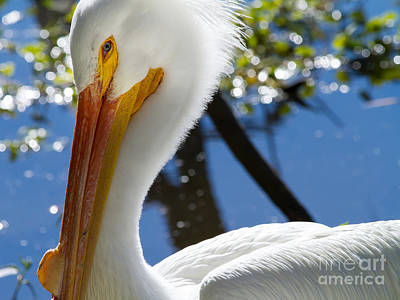 Photograph - White Pelican 7d9132 by Wingsdomain Art and Photography