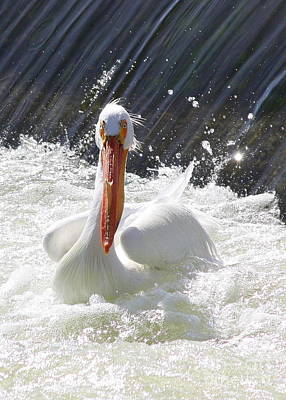 Photograph - White Pelican Beauty by Carol Groenen
