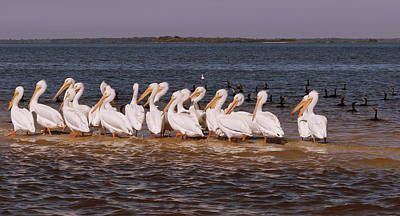 Photograph - White Pelican Crowed 1 by Sheri McLeroy