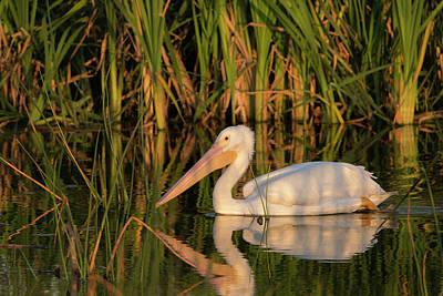 White Pelican Cruising Art Print by Maresa Pryor