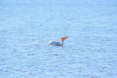 Jn Ding Darling National Wildlife Refuge Photograph - White Pelican by Curtis Krusie