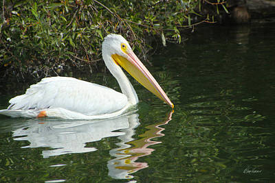 Photograph - White Pelican by Diana Haronis