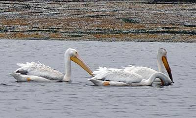 Sports Royalty-Free and Rights-Managed Images - White pelican feeding by David Tennis