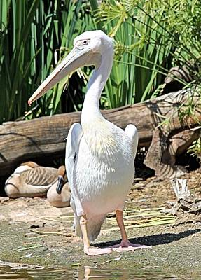 Photograph - White Pelican by Jane Girardot