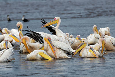 Adam Photograph - White Pelican, Lake Nakuru National by Adam Jones