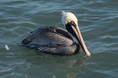 Photograph - Brown Pelican 2 by Michael Gooch