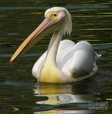 Photograph - White Pelican On The Water by D Hackett