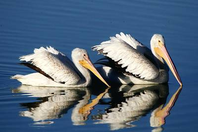 Photograph - White Pelican Pair by Ira Runyan