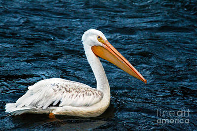 Photograph - White Pelican Portrait by Robert Bales