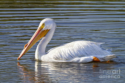 Photograph - White Pelican by Ronald Lutz